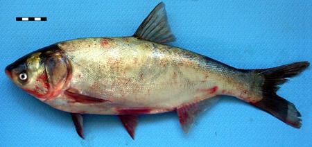 толстолобик семейство каких рыб